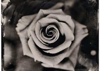 Wet plate collodion - Rose